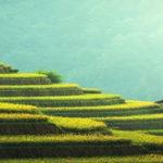 Thailande plantation de riz